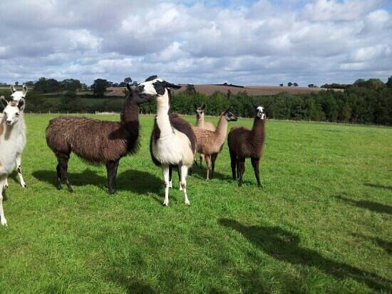 Catanger Llamas: Beautiful creatures and lovely scenery!