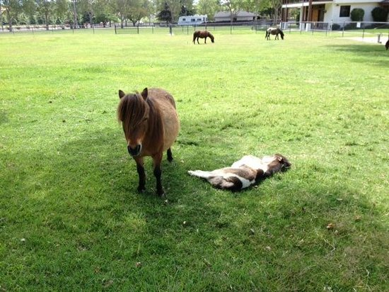 Solvang, CA: Mini & foal