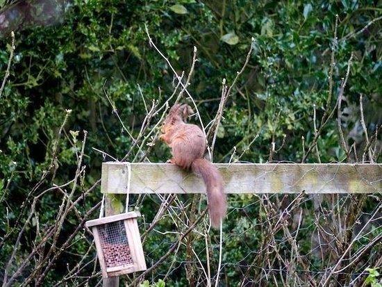 Bridgeford Farm: Red Squirrel in the garden