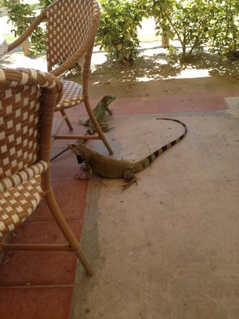 Palomino Island: iguanas like to hang out here in the restaurant :)