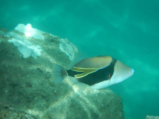 The Westin Princeville Ocean Resort Villas: trigger fish