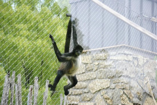 Abilene Zoo: Spider Monkey