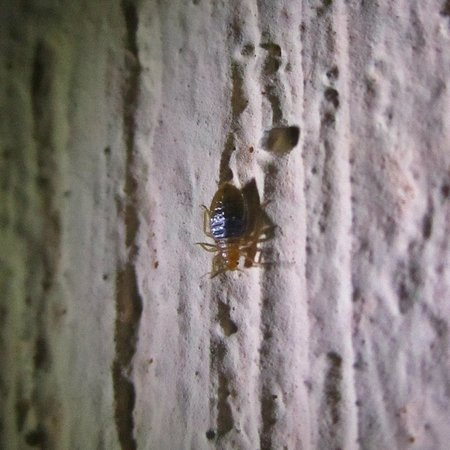 Villa Esthela bed bug- Antigua- taken 10:48pm April 29th