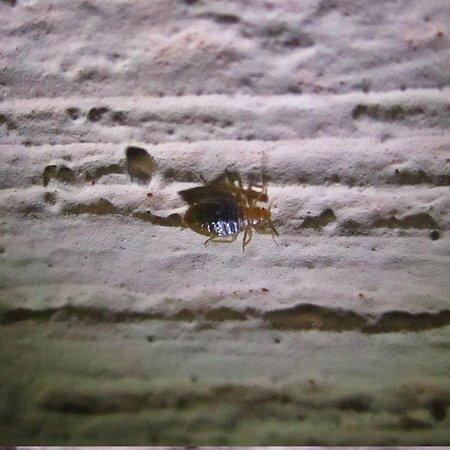 Villa Esthela: Villa Esthela bed bug- Antigua- taken 10:48pm April 29th