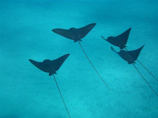 Maui Dreams Dive Co.: Eagle Rays at Black Rock