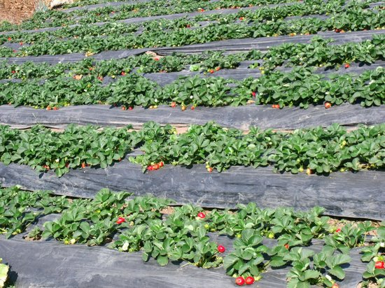 La Trinidad, Philippines: Strawberry field