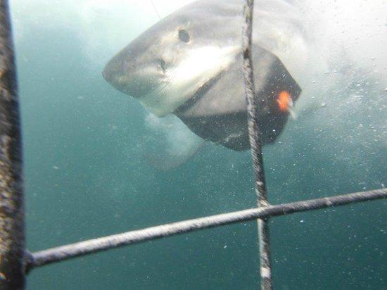 Saxon Lodge: Cage Diving