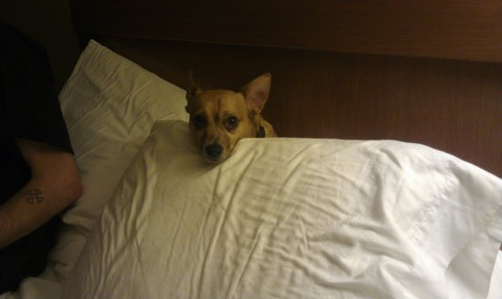 Econo Lodge Hershey : papi building a pillow fort at the hershey econolodge