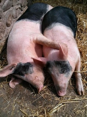 Old Holly Farm: Pigs chilling out in the sun!