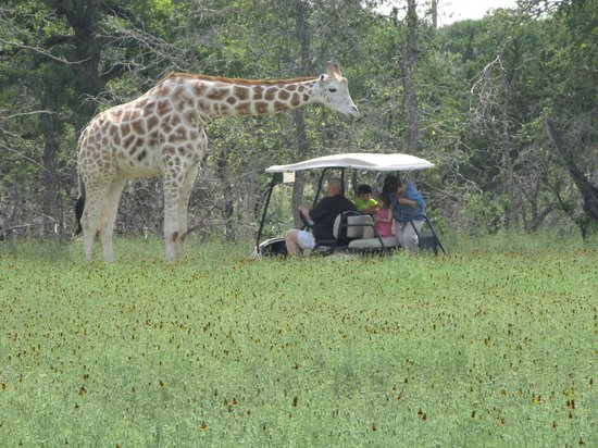 Bergheim, TX: Here is the giraffe visiting another golf cart.