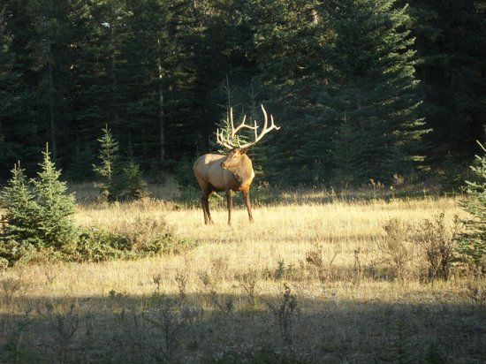 Banff Rocky Mountain Resort: An impressive 6 point Elk spotted quite near the town.