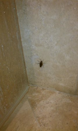 Westward Look Wyndham Grand Resort and Spa: Mr. Cockroach occupying our shower.