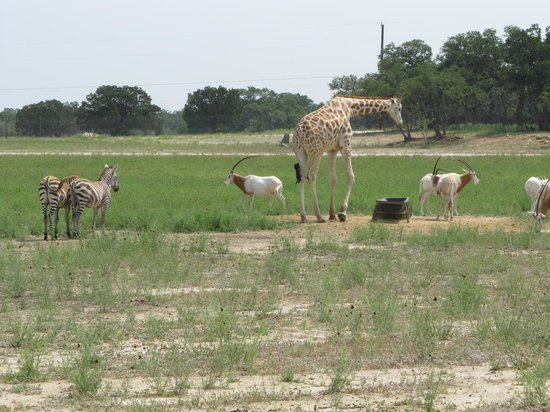 Serengeti Resort Safari Ride: The animals aren't interested in the carts during feeding time.