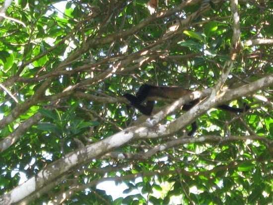 La Cusinga Eco Lodge: Howler monkey