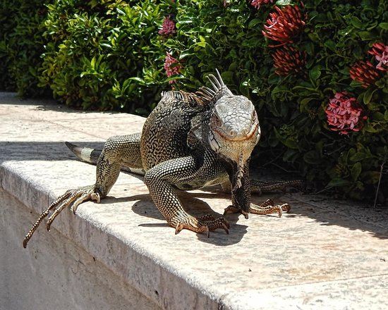 Hyatt Regency Aruba Resort and Casino: Friendly wildlife!