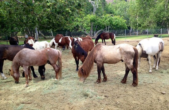 Irvine Regional Park: The horses for riding within the park