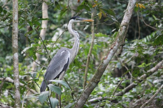 Napo Wildlife Centre: heron