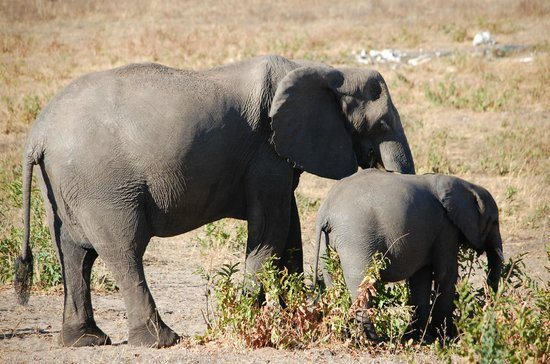 Chobe Game Lodge: Elephants heading to the river