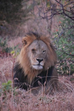 Chobe Game Lodge: Male lion