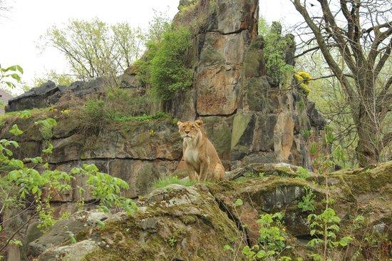 Berlin Zoological Garden : Lioness