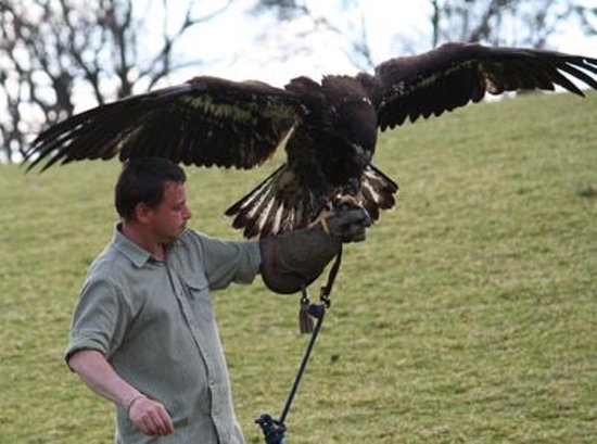 Falconry Experience Wales: Barry with Lakota the young Alaskan Bald Eagle