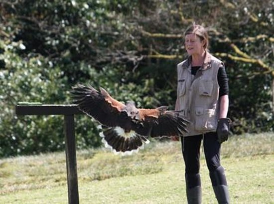 Falconry Experience Wales: Luce with Rezna the Harris Hawk