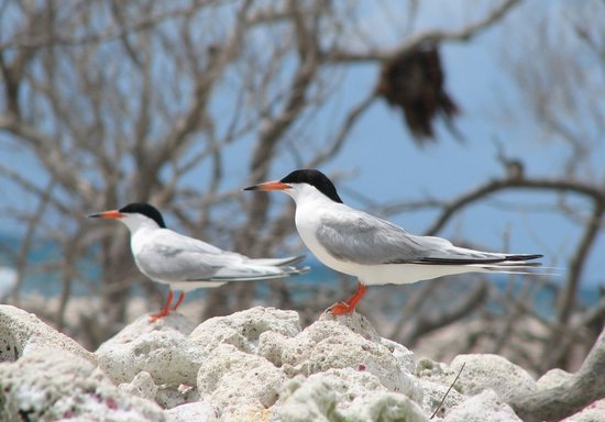 Great Florida Birding and Wildlife Trail: Roseate Tern by Ricardo Zambrano, FWC