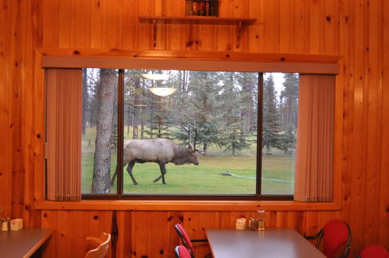 Jasper House Bungalows: BULL ELK MAKING AN APPEARANCE WHILE PEOPLE ARE EATING