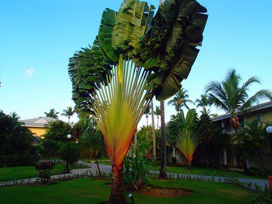 Grand Bahia Principe El Portillo: arbre du voyageur