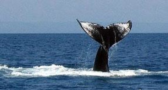 Changing Tide Tours: A whale of a tail.