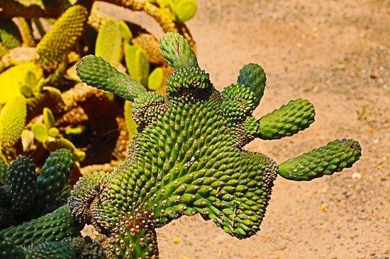 Cibola Vista: one of the many cactus