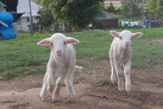 Bathurst, Australien: Healthy pet lambs