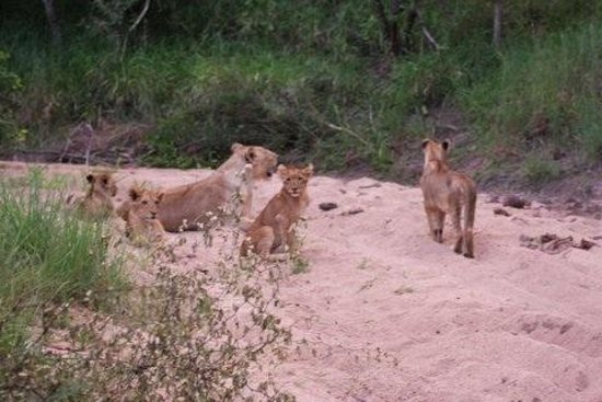 Londolozi Tree Camp: Young lions