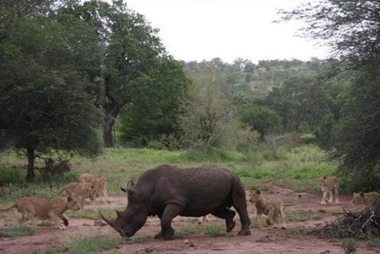 Singita Lebombo Lodge : Rhino and young lions