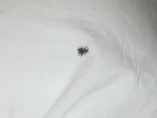 Extended Stay America - Santa Rosa - South : what I woke up to on my pillow