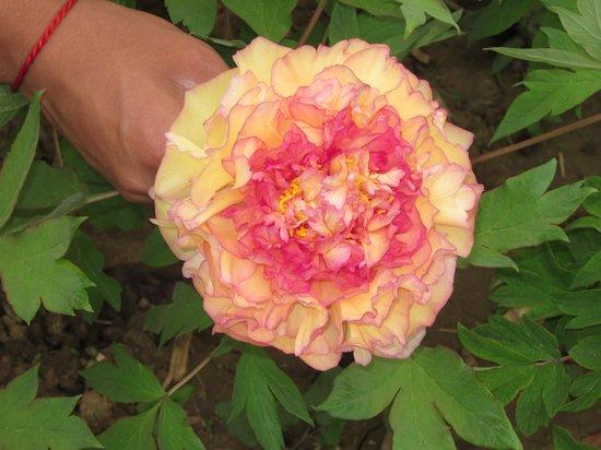 Luoyang International Peony Garden: Beautifl colour