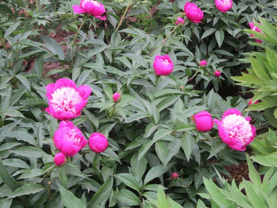 Luoyang International Peony Garden : Beautiful