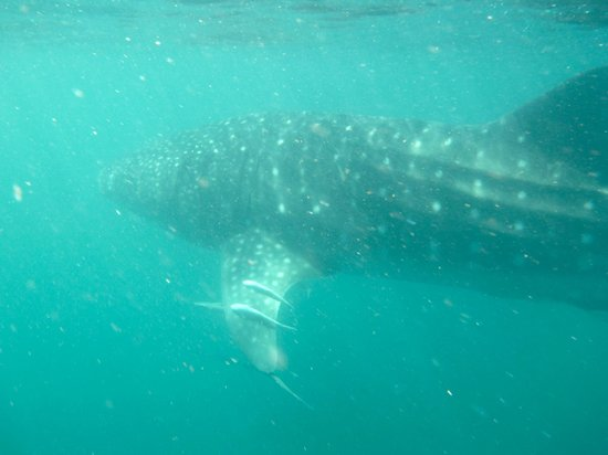 Whale shark picture of ningaloo reef dive coral bay tripadvisor - Ningaloo reef dive ...