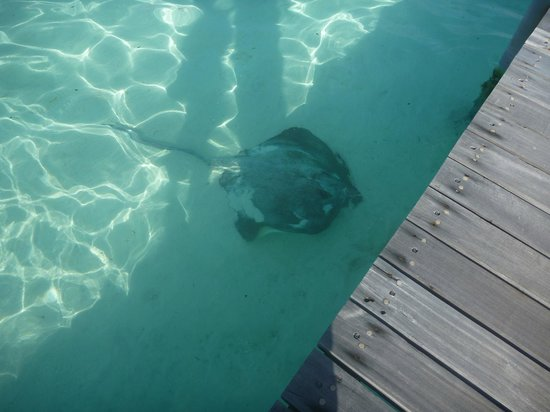 Cinnamon Hakuraa Huraa Maldives: Another ray swims by