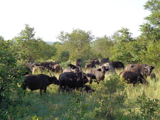 Shindzela Tented Safari Camp: Buffalo herd