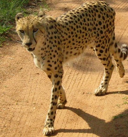 Ann van Dyk Cheetah Centre : Wild Cheetah at De Wildt