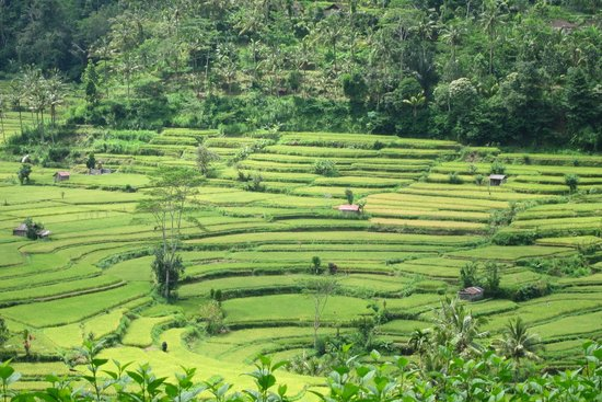 The Mahagiri: rice terrace of  Karangasem