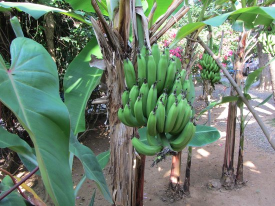 Mame Tree Bungalows: Banana trees on the property