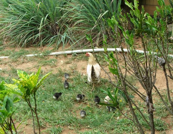 Mame Tree Bungalows : Chickens in the yard
