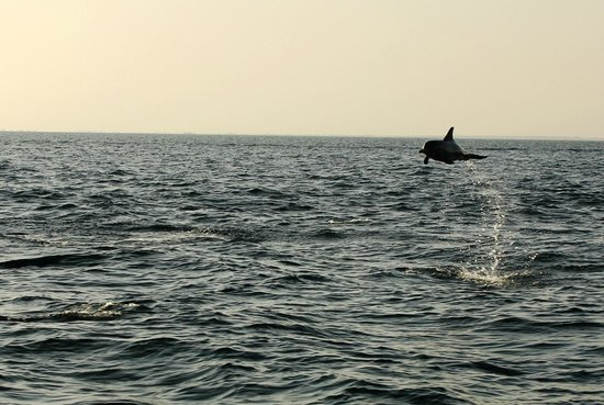 Farasan Islands: Dolphin show in the wild
