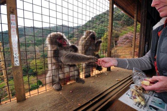 Monkey Park Iwatayama: Monkeys on the outside are being fed