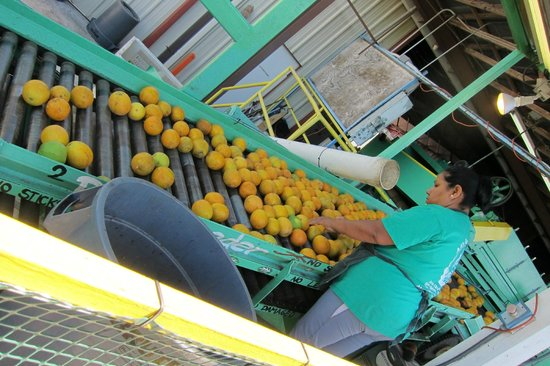 Al's Family Farms: citrus grading process