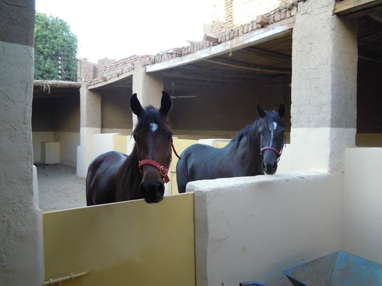 Nobi Stables - Luxorstables
