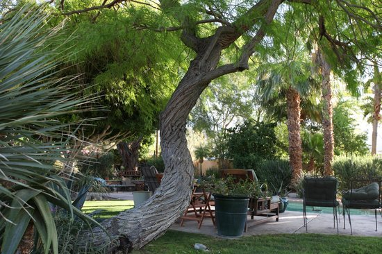 Hacienda Hot Springs Inn : Old twisted mesquite tree