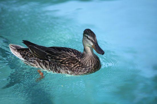 Hacienda Hot Springs Inn : Gertrud, the duck